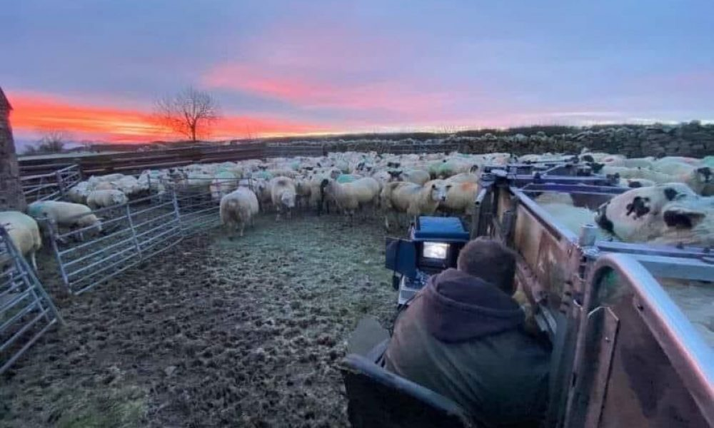 Sheep Scanning