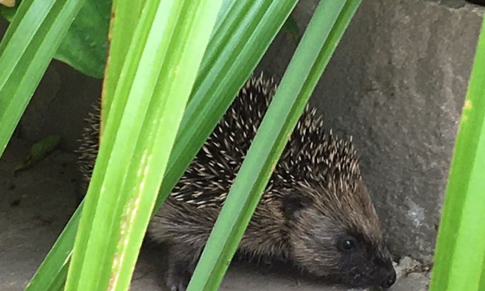 We've got baby Hedgehogs at Park Bottom B&B